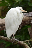 Cattle Egret (Cow Heron) Royalty Free Stock Photos