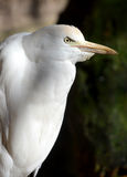 Cattle Egret (Cow Heron) Stock Image
