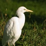 Cattle egret or cow heron - square cropped Royalty Free Stock Photography