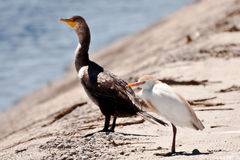 Cattle Egret and Double-crested Cormorant Royalty Free Stock Photo