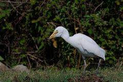 Cattle egret. Eating a frog Stock Photo