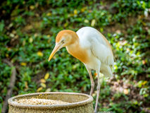 Cattle egret is eating in the park Stock Photography
