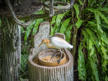Cattle egret is eating in the park Stock Image