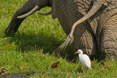 Cattle Egret and Elephant in collaboration Royalty Free Stock Photo