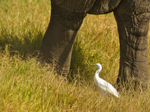 A Cattle Egret between Elephant columns. A cattle Egret profites the slow movement of the Elephant to catch the insects which come out of the grass cover as they Royalty Free Stock Photo