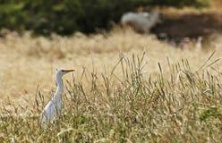 Cattle egret in a field Stock Photo