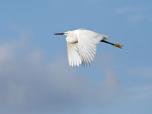 Cattle egret in flight Royalty Free Stock Images