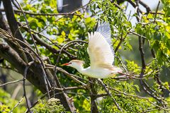 Cattle Egret In Flight. A Cattle Egret is in flight amongst branches stock photos