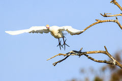 Cattle Egret in Flight Stock Image