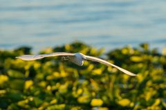 Cattle Egret in flight Stock Photography