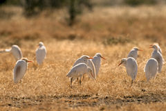 Cattle egret flock Stock Photography