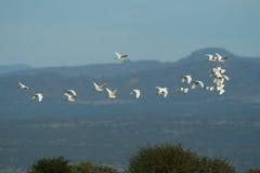 Cattle egret flock Stock Images