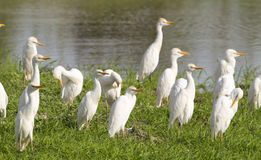 Cattle Egret. Flock of Cattle Egret sitting near water Royalty Free Stock Photos