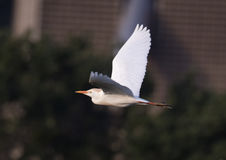 Cattle egret flying Royalty Free Stock Photography