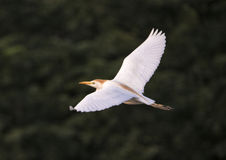 Cattle egret flying Royalty Free Stock Photo