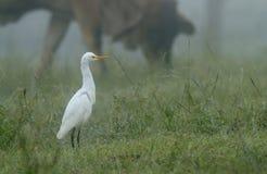 Cattle Egret on foggy morning stock photos