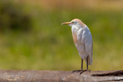 Cattle Egret, Freshly Preened. A Cattle Egret, seen in Kenya's Meru National Park.  It had been preening and a few small feathers are still in the tip of its Stock Photos