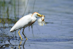 Cattle Egret With Frog. Cattle Egret Eating A Large Frog Stock Images