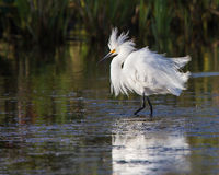Cattle egret in full breeding plumage stock photo