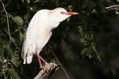Cattle egret in full colors Stock Photo