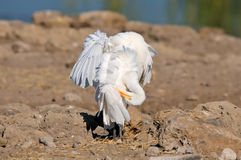 Cattle Egret in a funny position Royalty Free Stock Photography