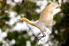 Cattle Egret Genus bubulcus,flying on green background royalty free stock photo