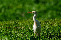 CATTLE EGRET IN A GRASS Stock Images