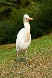 Cattle Egret on the Grass Royalty Free Stock Images