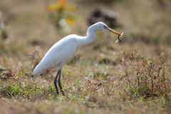 Cattle Egret with grasshopper Royalty Free Stock Photos