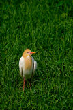 Cattle Egret. In green grass Stock Photo