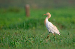 Cattle Egret in Greenery. A Cattle egret walking around in a field looking for food in the morning stock image