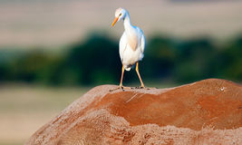 Cattle Egret hitching a rhino ride Stock Photos
