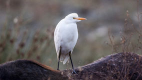 Cattle Egret on Horse Royalty Free Stock Image