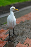 Cattle egret, ibis bubulcus wandering around at a park in Kuala Lumpur Birdpark, Malaysia Stock Photos
