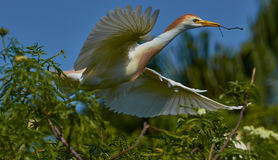 Cattle Egret inflight stock photography