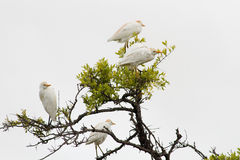 Cattle egret isolated on a white background Stock Photos