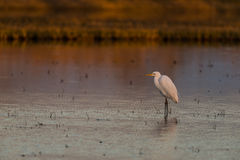 Cattle egret in a lake. Cattle egret Bubulcus ibis in a lake sunset Stock Photo