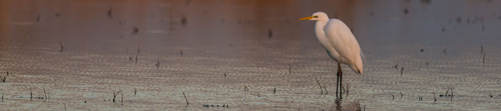 Cattle egret in a lake. Cattle egret Bubulcus ibis in a lake sunset Royalty Free Stock Photos