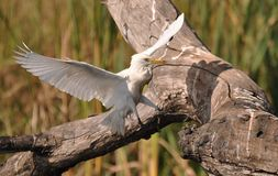 Cattle Egret landing Royalty Free Stock Images