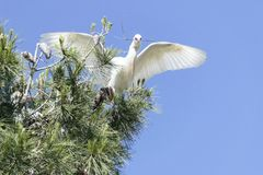 Cattle Egret Landing in a Pine Tree stock photography