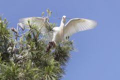 Cattle Egret Landing in a Tree Carrying Nesting Material stock photography