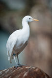 Cattle Egret (lat. Ardeola ibis) Stock Photos