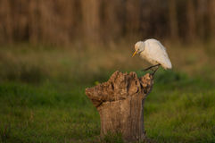 Cattle Egret on a log Royalty Free Stock Photo