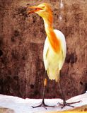 A CATTLE EGRET LOOKING CURIOUSLY stock photography