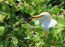 The Cattle Egret on mangrove tree Stock Photography