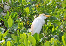 The Cattle Egret on mangrove tree Stock Photos