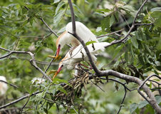 Cattle egret mating Stock Photo