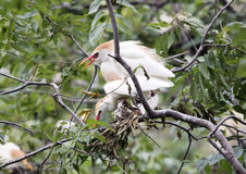 Cattle egret mating Stock Images