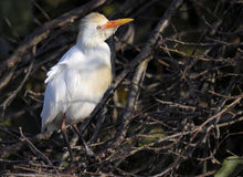 Cattle Egret in Mating Plumage Stock Images