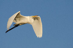Cattle Egret Morning Sun Stock Images